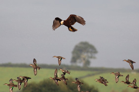 Marsh Harrier. Credit: Nick Stacey
