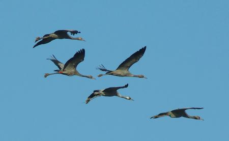 cranes in flight with mud on their feet