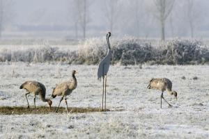 cranes feeding near a decoy