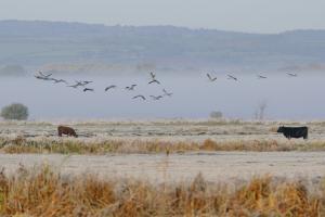 Crane fly over frozen pasture