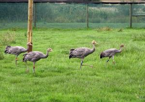 cranes settling into their new home