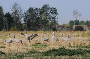 Cranes, Barley