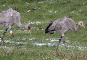Colour differentiation in young cranes