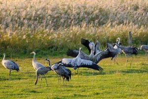 Cranes Dancing. Credit: Nick Upton/naturepl.com