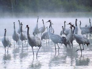 Cranes in the mist. Credit: Beate Blahy
