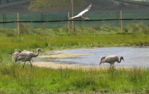 cranes crusing round the pen