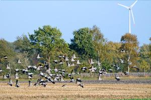 Crane flock taking off near a wind turbine