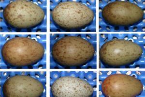 Crane eggs