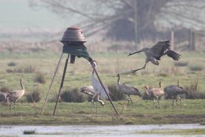 Unringed crane coming to the autofeeder on Aller Moor. Credit: John Crispin
