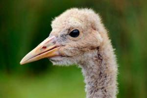 Older crane chick. Credit: Nick Upton/naturepl.com