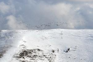 Cranes flying over a snowy rocky ridge