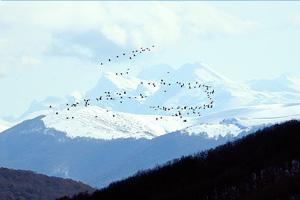 Cranes flying over big mountain peaks