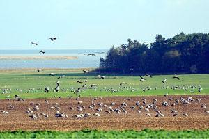 migrant cranes arriving on stubble in a field