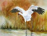Whooping crane hunting in wetland
