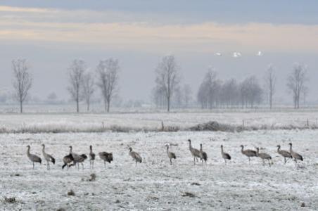 Cranes on the Moor