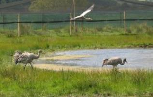 cranes crusing round the pen