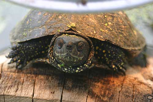 close up photo of adult terrapin with eyes closed