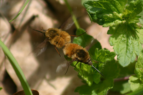 close up photo of bee flies mating
