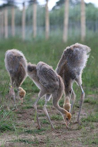three cranes feeding peacefully together