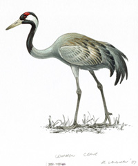 Crane illustration. Credit: Mike Langman (rspb-images.com)