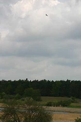 Red kite soaring in the sky
