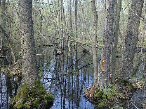Alder swamp