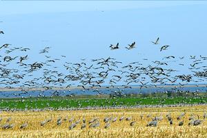 Crane flock flies over a maize field